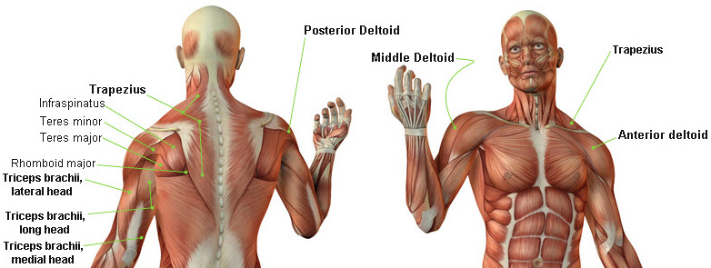 Shoulder Muscle Group 80